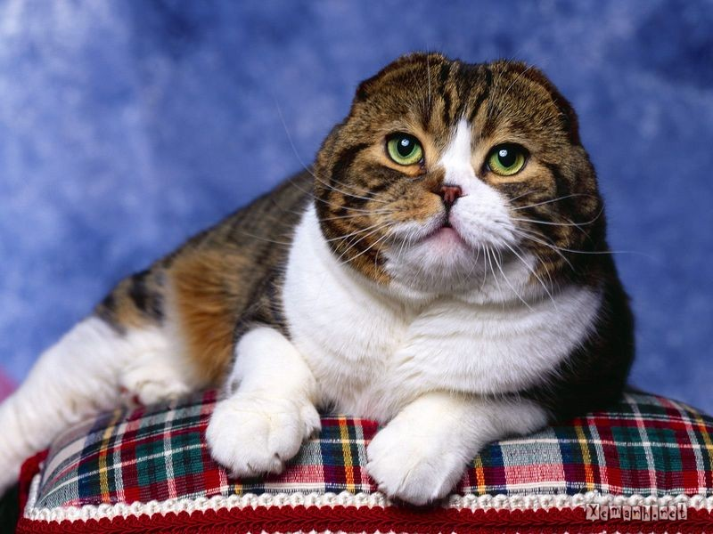 7 Ras Kucing Mahal Yang Paling Dicari 7 Ras Kucing Mahal Yang Paling Dicari Hasil Coretan Anak Tkj