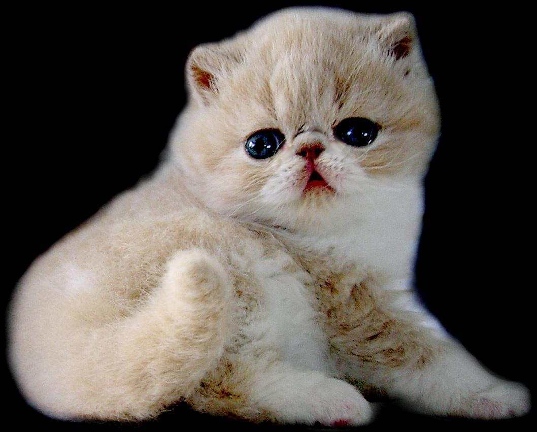7 Ras Kucing Mahal Yang Paling Dicari 7 Ras Kucing Mahal Yang
