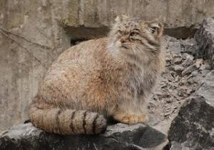 Ppallas's Cat
